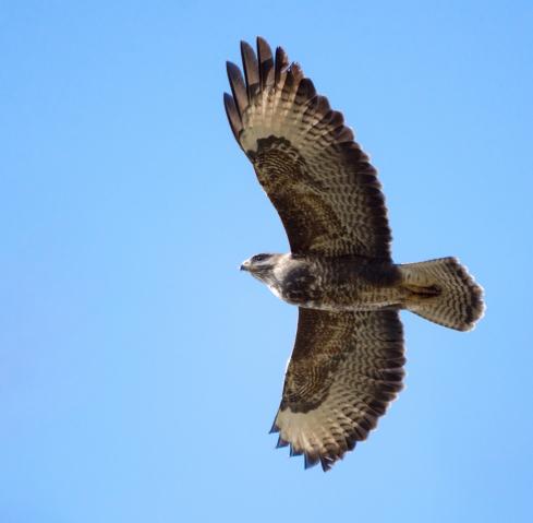 buzzard1