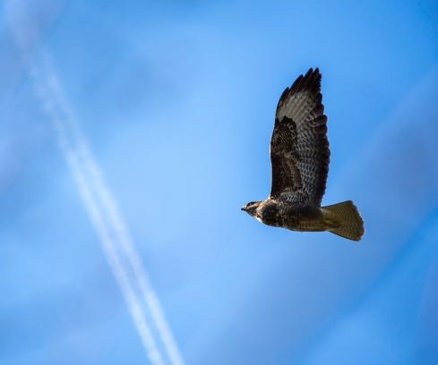 buzzard2